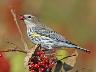- Yellow-rumped Warbler