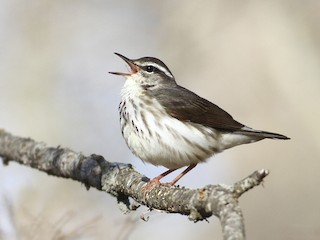 - Louisiana Waterthrush