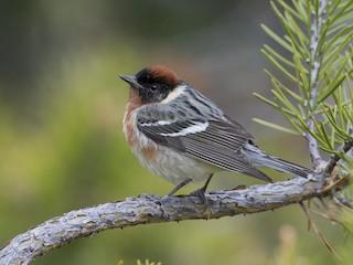 - Bay-breasted Warbler
