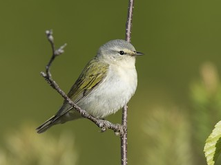 - Tennessee Warbler