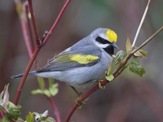 - Golden-winged Warbler
