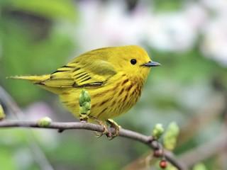 - Yellow Warbler
