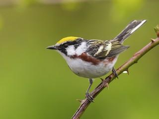 - Chestnut-sided Warbler