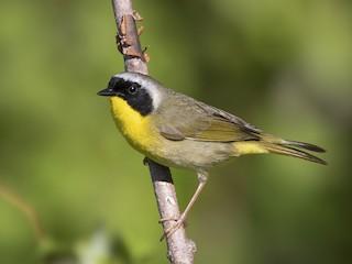 - Common Yellowthroat
