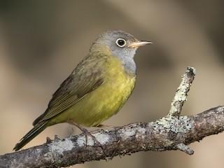 - Connecticut Warbler