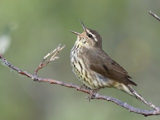 - Northern Waterthrush