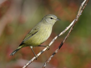 - Orange-crowned Warbler