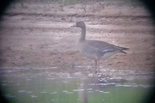 Greater White-fronted Goose, ML193625291