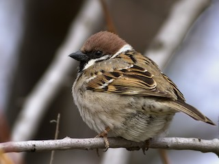 - Eurasian Tree Sparrow