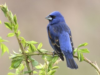 - Blue Grosbeak