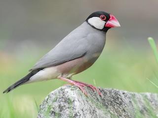 - Java Sparrow