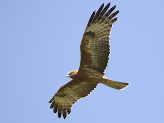 - Square-tailed Kite