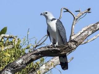 - Gray-headed Kite