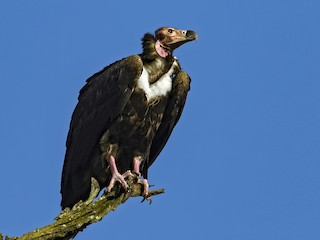 - Red-headed Vulture
