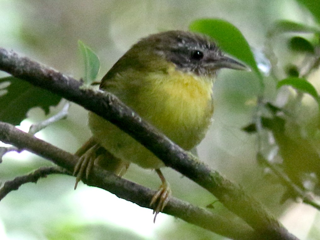Wedge-tailed Jery - Stephen Gast