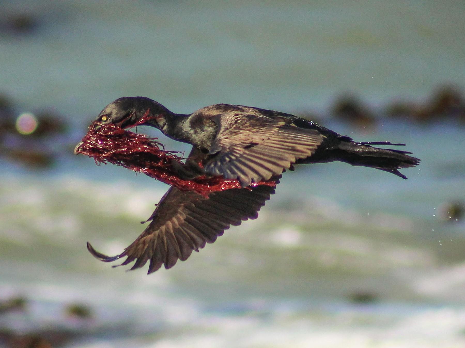 Bank Cormorant - Callum Evans