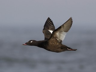 - White-winged Scoter