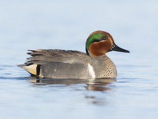 - Green-winged Teal