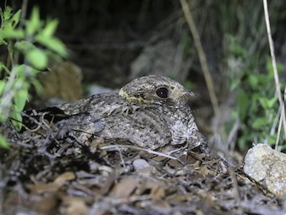 - Buff-collared Nightjar