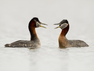 - Red-necked Grebe