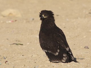 - Greater Spotted Eagle