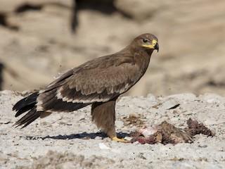 - Steppe Eagle