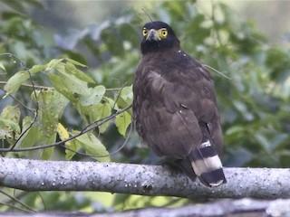 - Sulawesi Serpent-Eagle