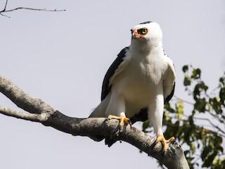 - Black-and-white Hawk-Eagle