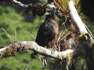 - Black-and-chestnut Eagle