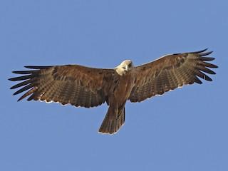 - Tawny Eagle