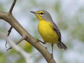 - Barbuda Warbler