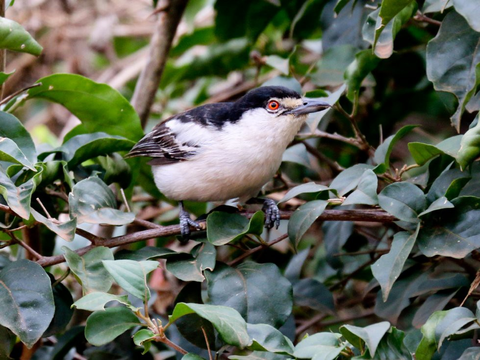Black-backed Puffback - Hickson Fergusson