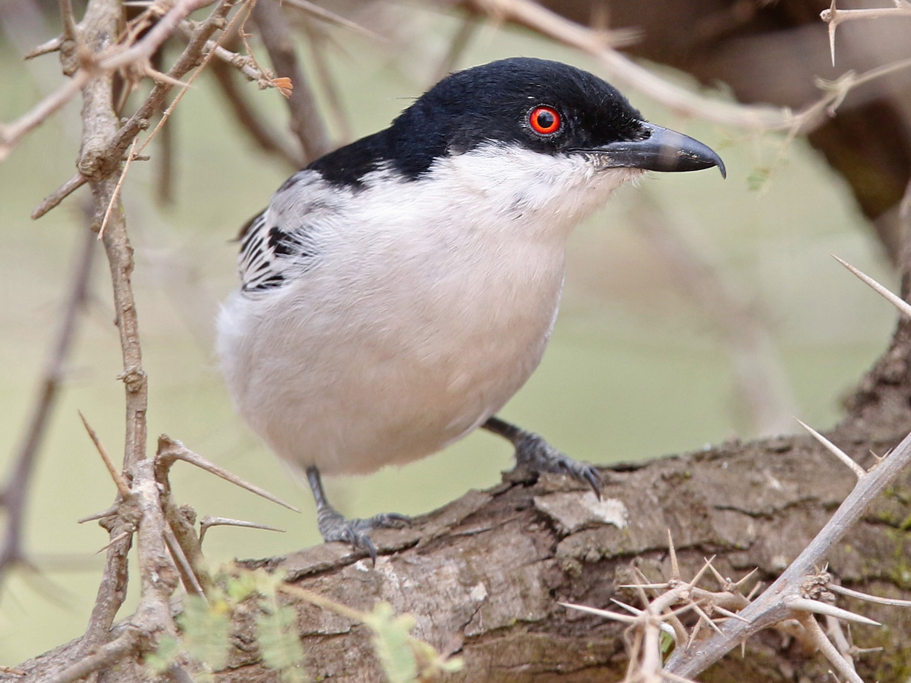 Black-backed Puffback - Volker Hesse
