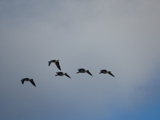 Barnacle Goose, ML194001131