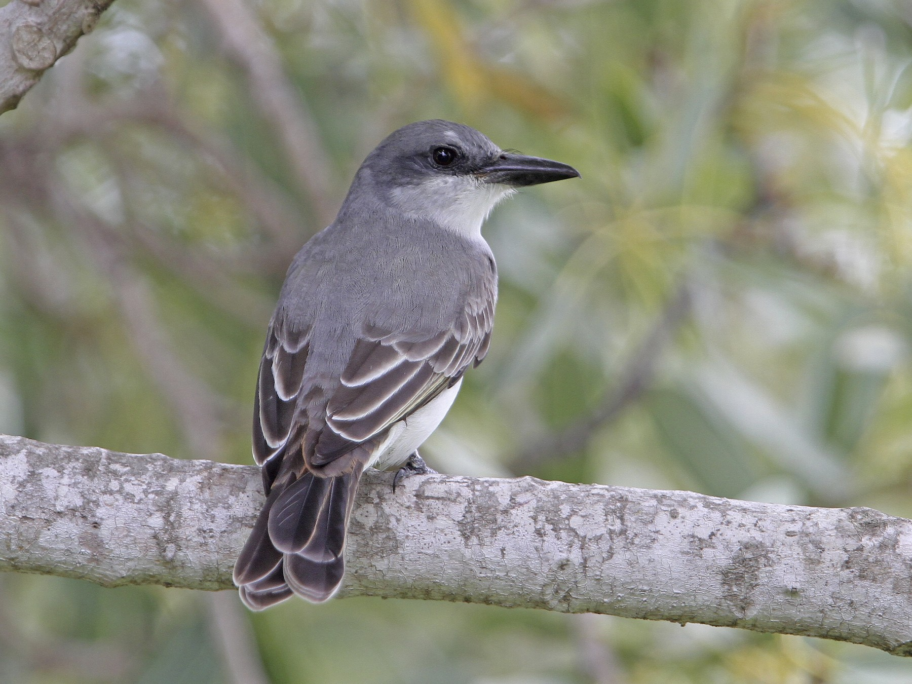 Gray Kingbird - Christoph Moning