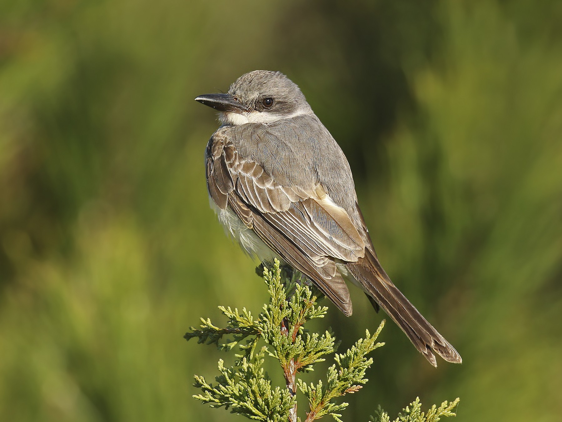 Gray Kingbird - Ryan Schain