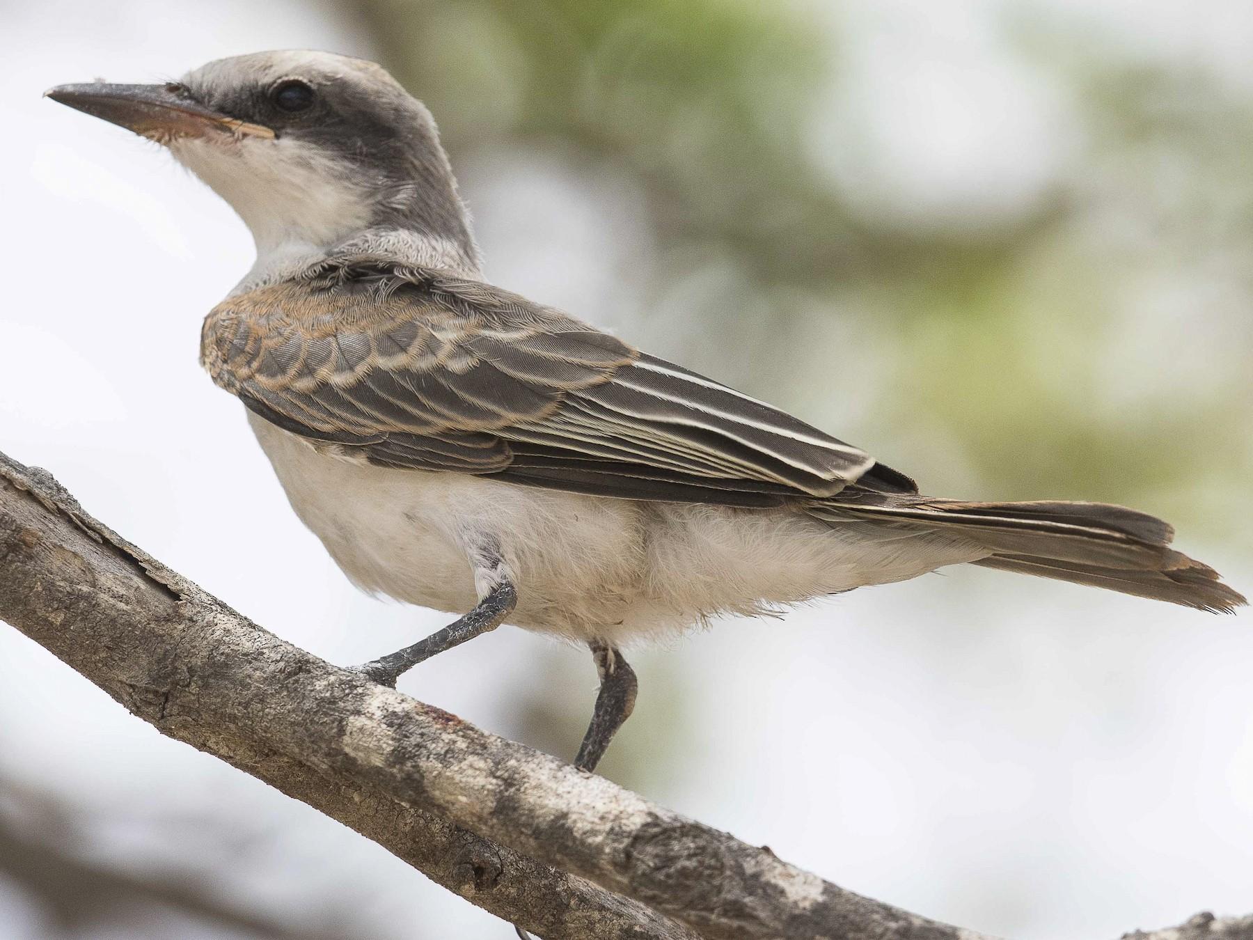 Gray Kingbird - Eric VanderWerf