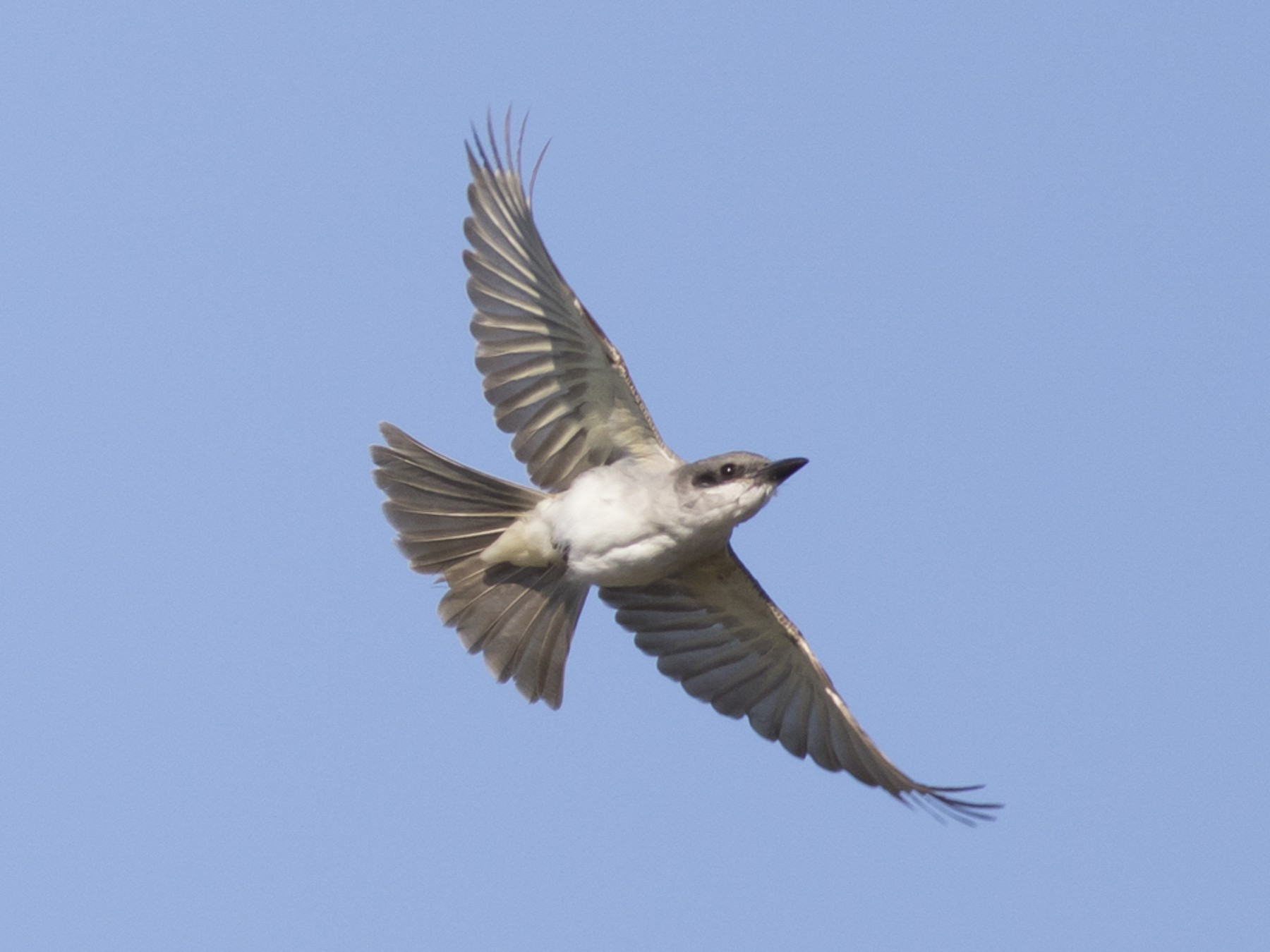 Gray Kingbird - Tom Johnson