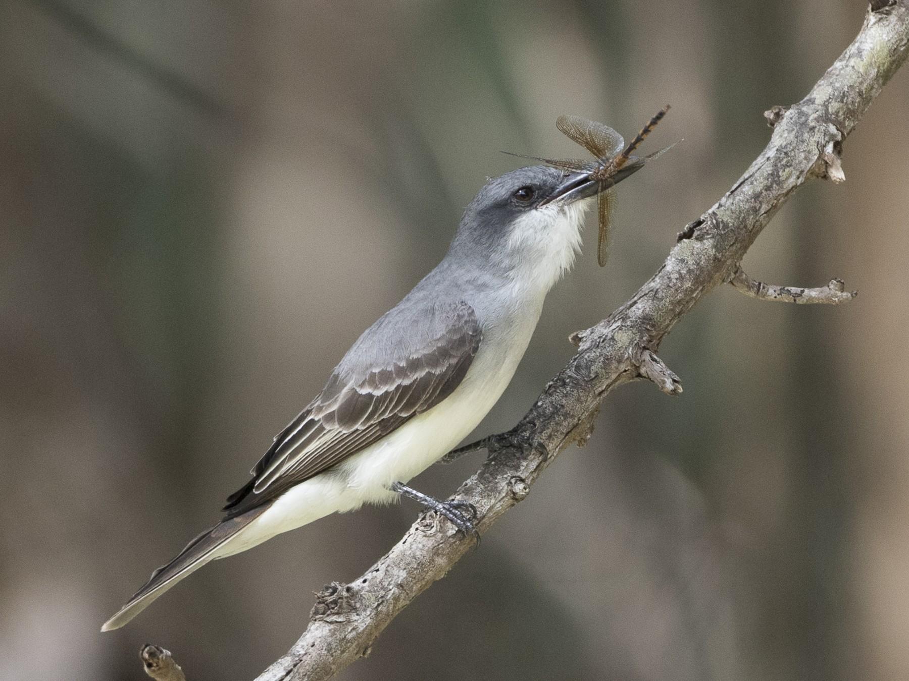 Gray Kingbird - Brian Sullivan