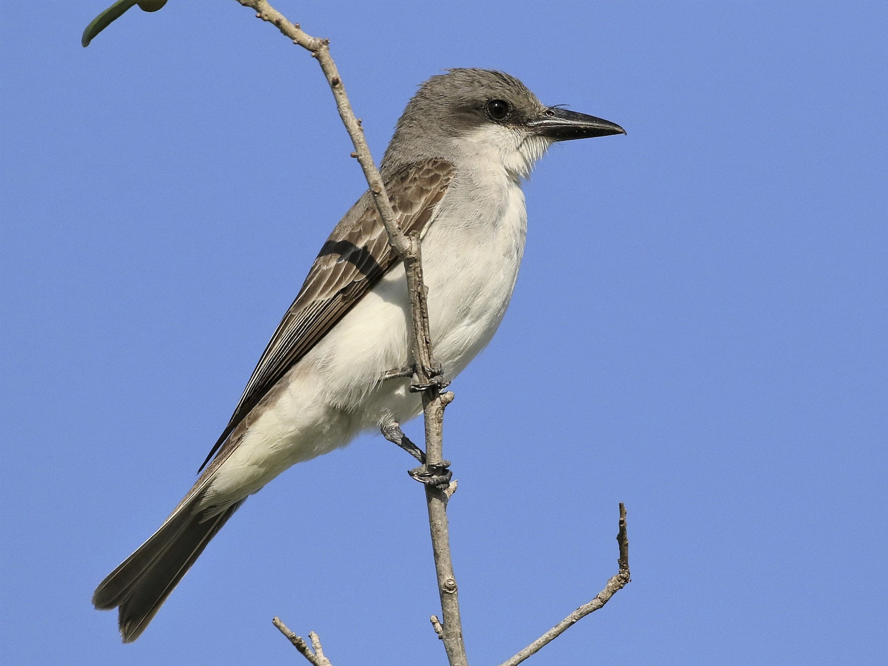 Gray Kingbird - Carlos Sanchez