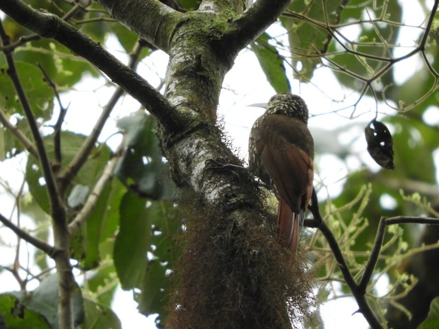 Spot-crowned Woodcreeper