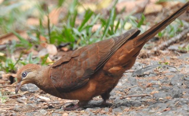 Black-billed Cuckoo-Dove
