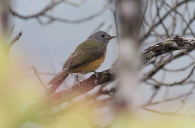 Gray-hooded Flycatcher