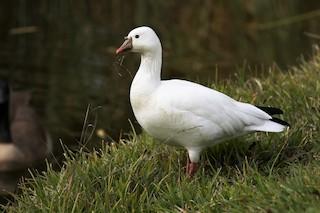 Ross's Goose, ML194378451