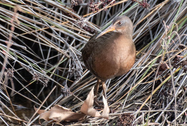 Ridgway's Rail (Light-footed)