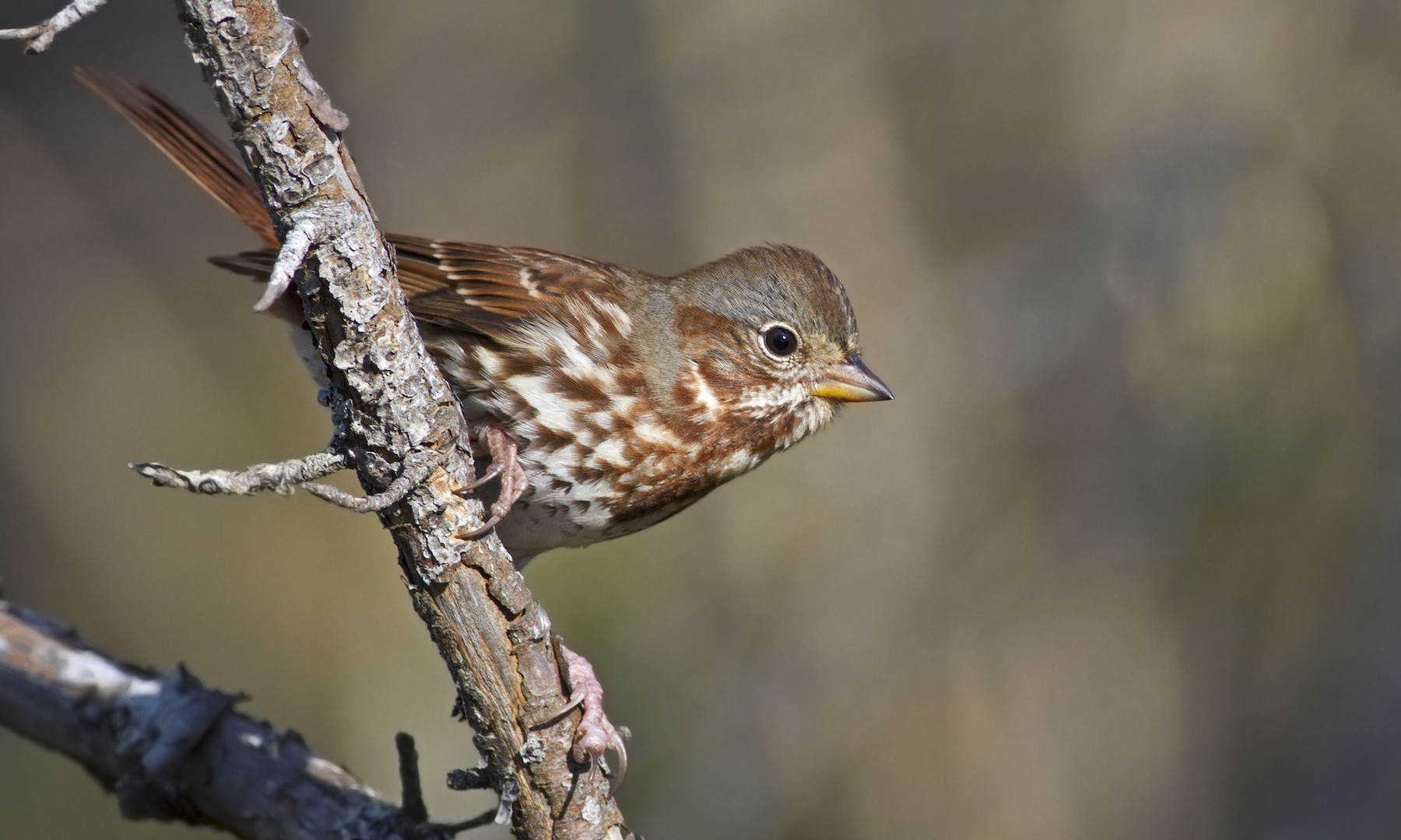 Fox Sparrow (Red) - Zak Pohlen