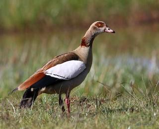 Egyptian Goose, ML195178981