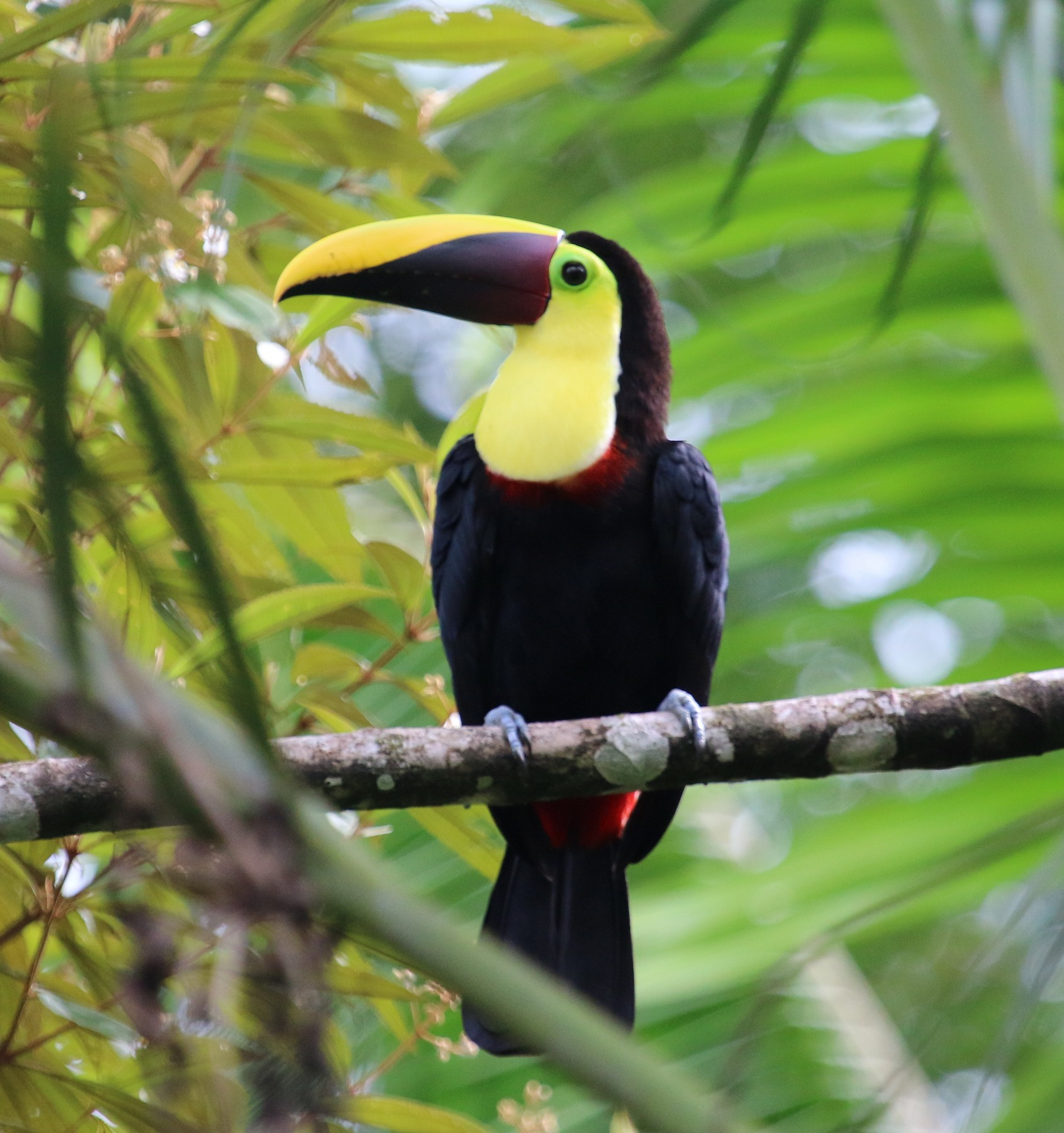Yellow-throated Toucan (Chestnut-mandibled) - Jacob C. Cooper