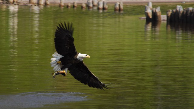 ©Gary Leeper - Bald Eagle