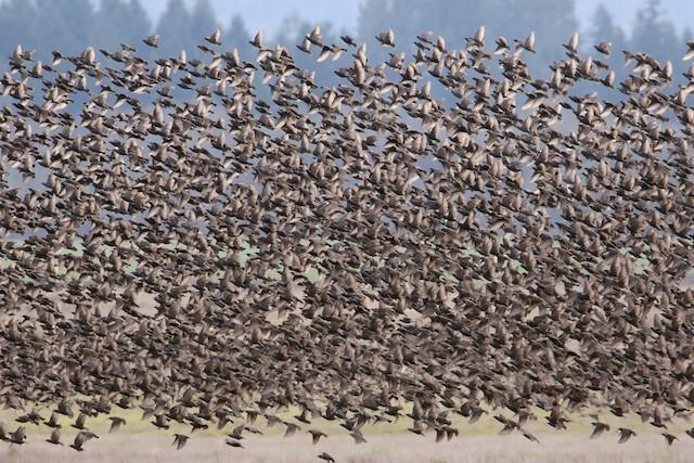 ©Noah Strycker - European Starling